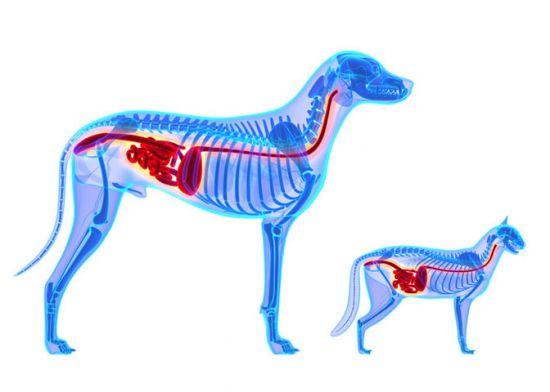 Пищеварительная система собаки и кота