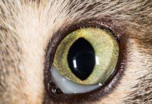 Заболевания глаза кошки