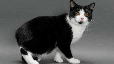 Порода кошек Мэнкс